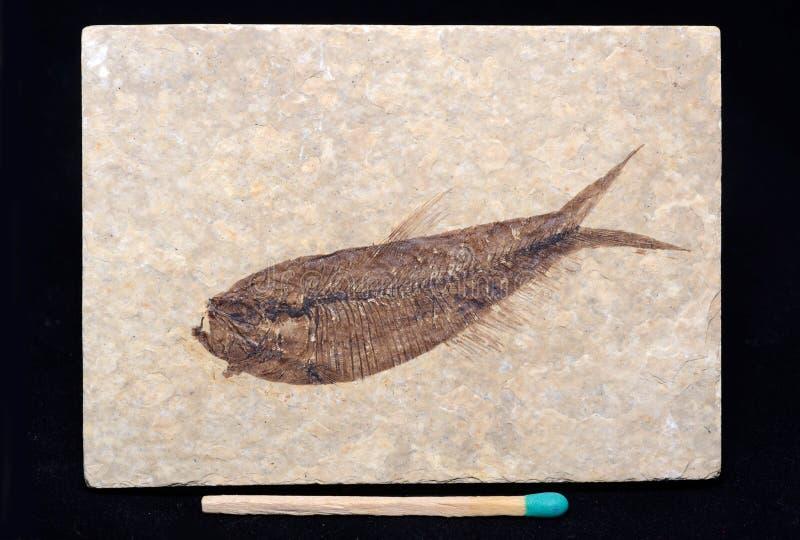 Peixes fossilizados imagem de stock royalty free