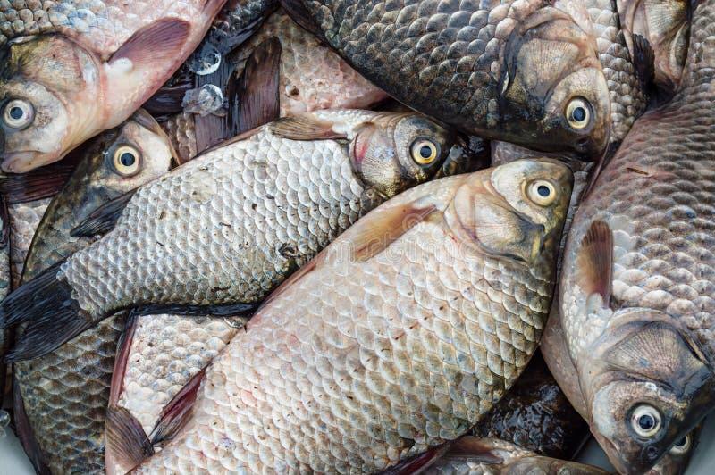 Peixes frescos Crucian (carpa do rio) imagens de stock royalty free