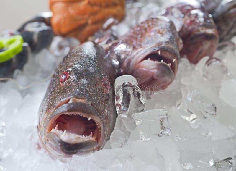 Peixes frescos da garoupa no gelo imagens de stock
