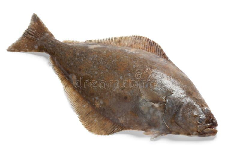 Peixes frescos do alabote fotografia de stock
