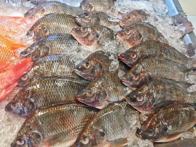Peixes frescos dos peixes ou da manga do tilapia de nile ou niloticus de Oreochromis na tenda congelada foto de stock