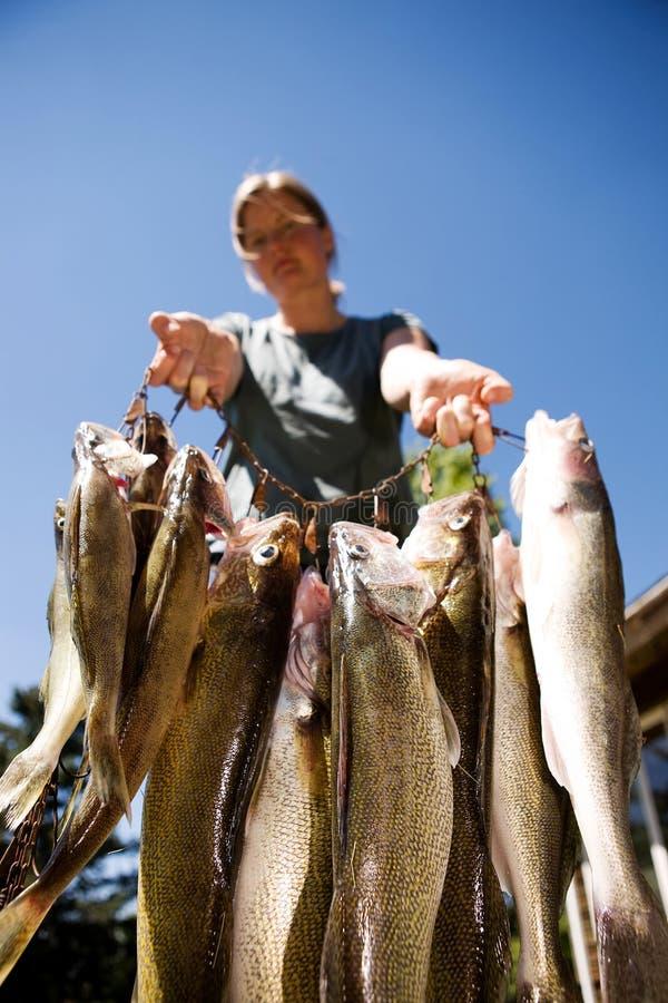 peixes frescos dos walleye foto de stock royalty free