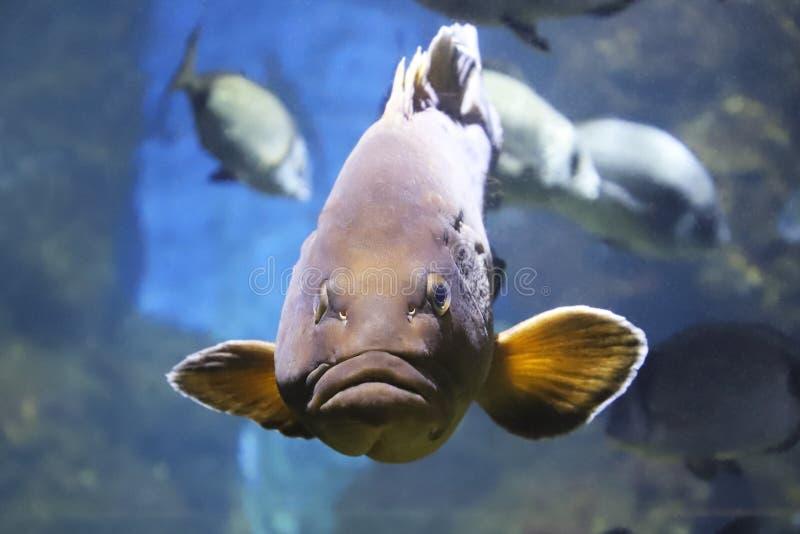 Peixes grandes com os bordos grossos sob a cena da água fotografia de stock royalty free