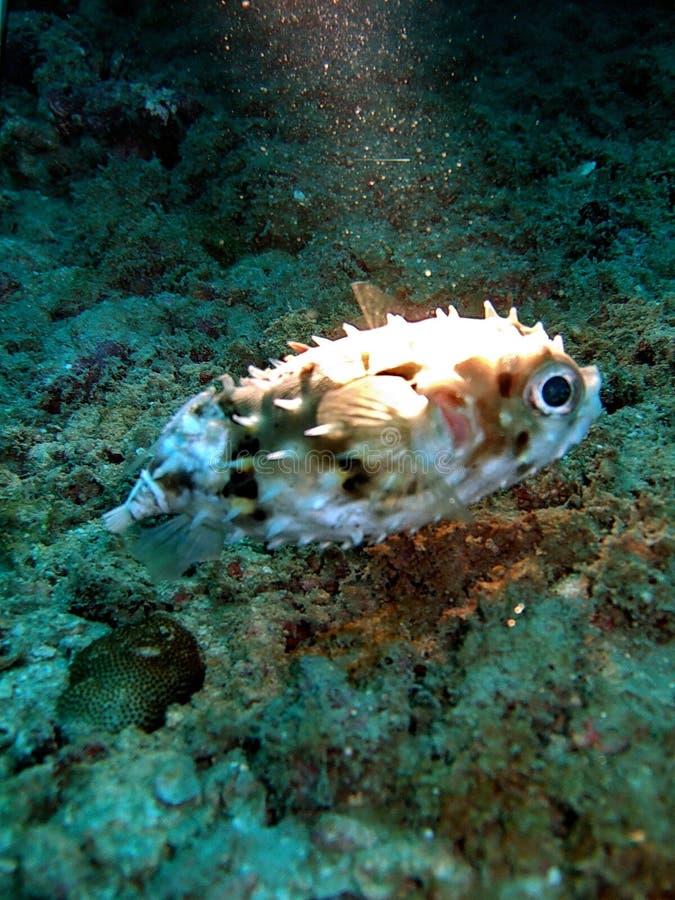 Peixes incomuns no recife coral fotografia de stock