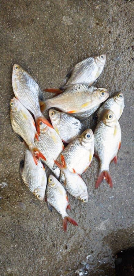 Peixes inoperantes foto de stock