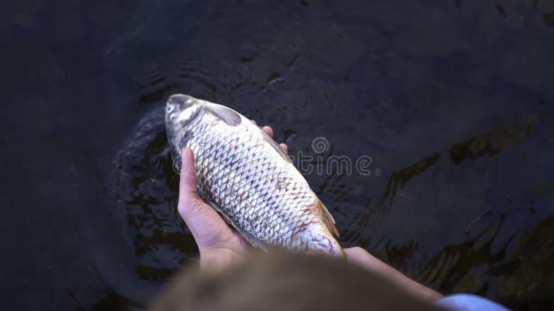 Peixes inoperantes de tomada humanos do rio, contaminação da água, desastre ecológico imagem de stock