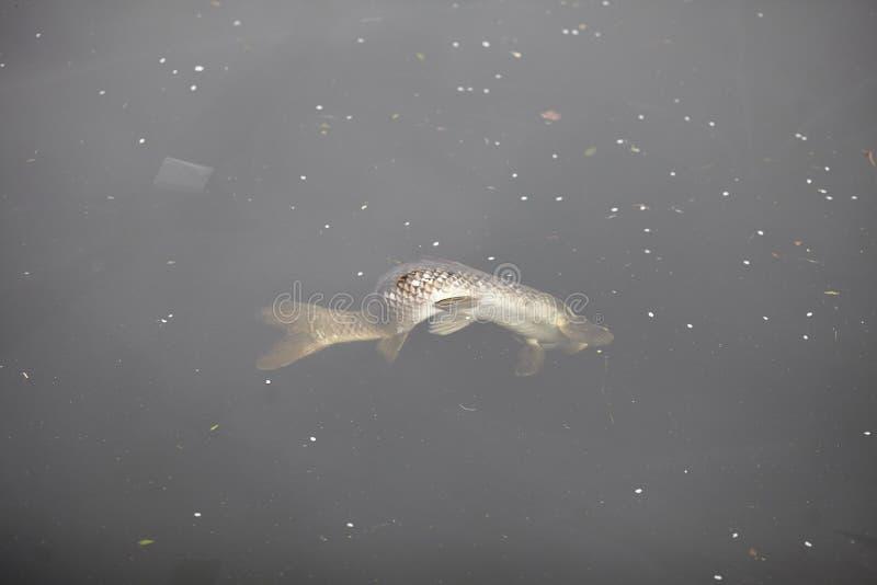 Peixes inoperantes em um rio poluído fotos de stock
