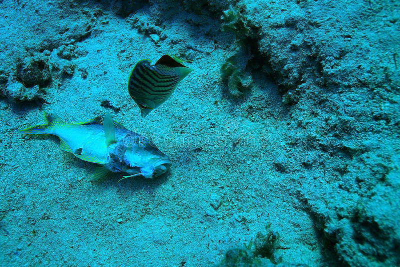 Peixes inoperantes no recife de corais foto de stock royalty free