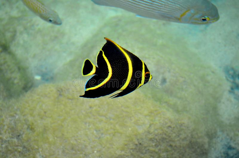 Peixes listrados amarelos tropicais em Cozumel México imagem de stock