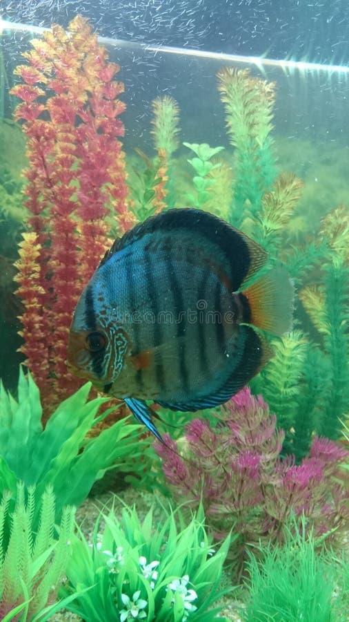 Peixes listrados azuis contínuos do disco imagens de stock