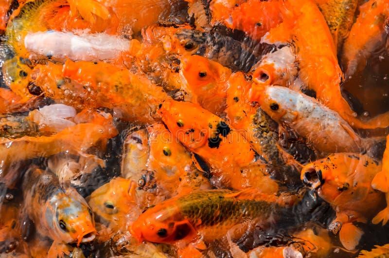 Peixes múltiplos do koi na lagoa de água foto de stock royalty free