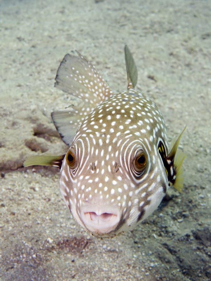 Peixes manchados brancos do soprador imagem de stock royalty free