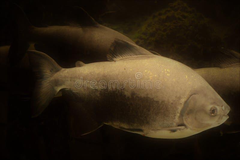 Peixes marinhos de prata foto de stock royalty free