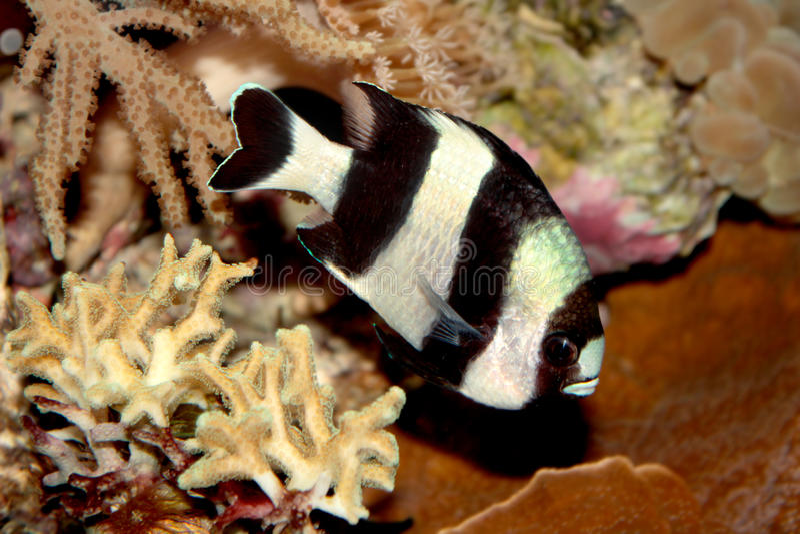 Peixes marinhos do dascyllus de Blacktail (melanurus de Dascyllus) imagens de stock