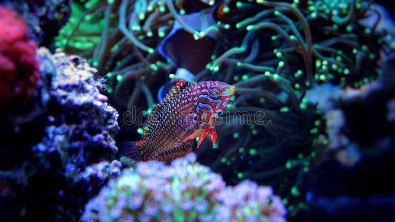 Peixes marinhos no aquário marinho imagem de stock