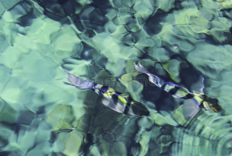 Peixes na água azul fotografia de stock royalty free