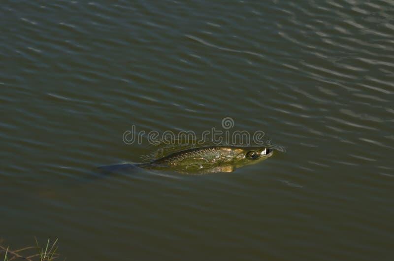 Peixes na lagoa fotos de stock royalty free