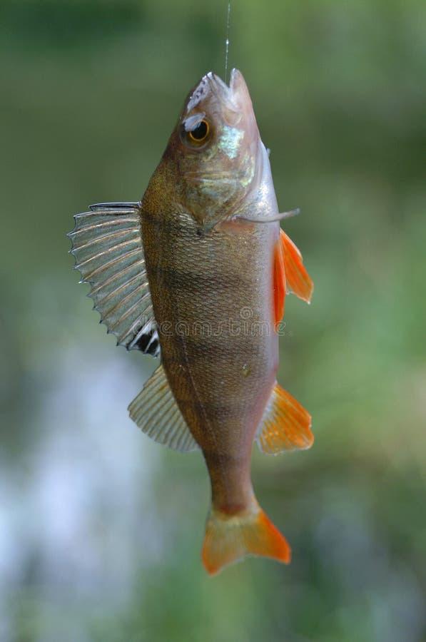 Peixes Na Linha Fotografia de Stock