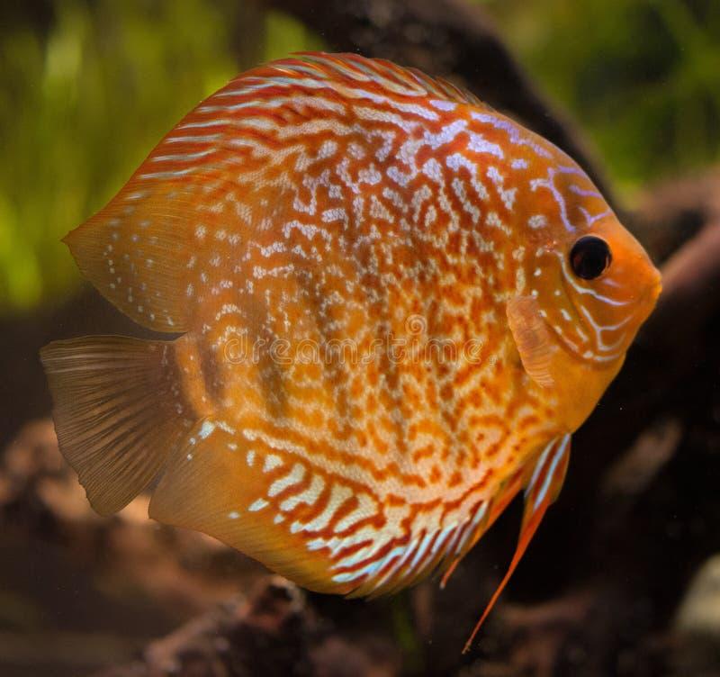 Peixes no aqu?rio, peixes tropicais do disco no aqu?rio Disco de Symphysodon do Rio Amazonas Diamante azul, snakeskin, foto de stock