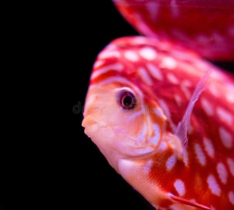 Peixes no aqu?rio, peixes tropicais do disco no aqu?rio Disco de Symphysodon do Rio Amazonas Diamante azul, snakeskin, imagem de stock