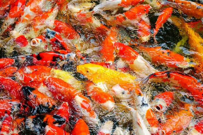 Peixes ou carpa ou carpa colorida da fantasia, natação extravagante da carpa na lagoa fotos de stock