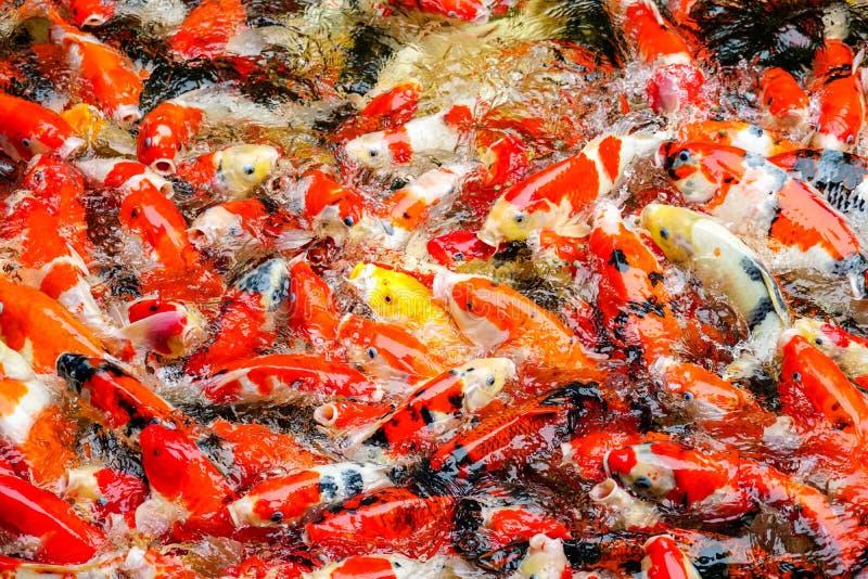 Peixes ou carpa colorida ou carpa extravagante, natação extravagante da carpa na lagoa no jardim zoológico fotos de stock royalty free
