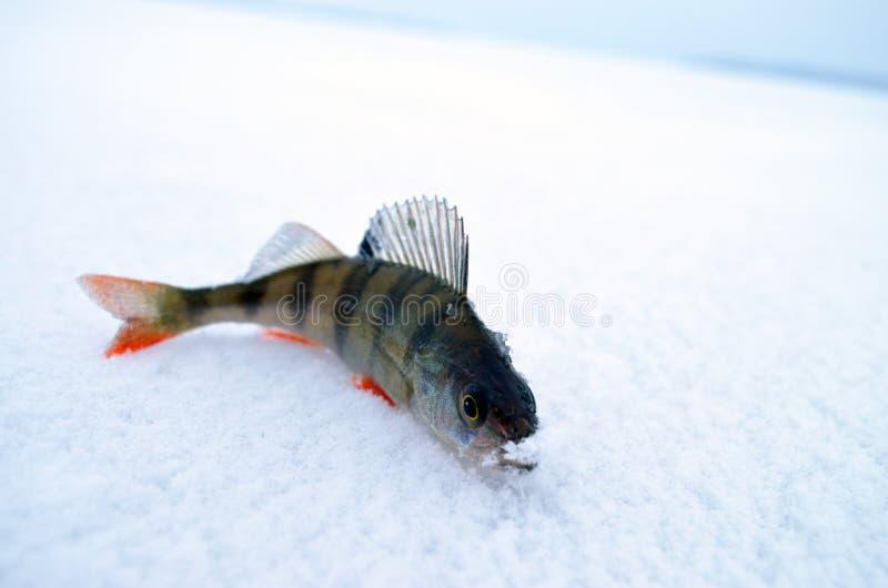Peixes pequenos no gelo imagens de stock