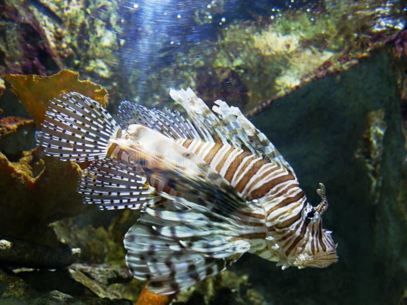 Peixes perigosos do leão no aquário de Gosier em Guadalupe fotografia de stock royalty free