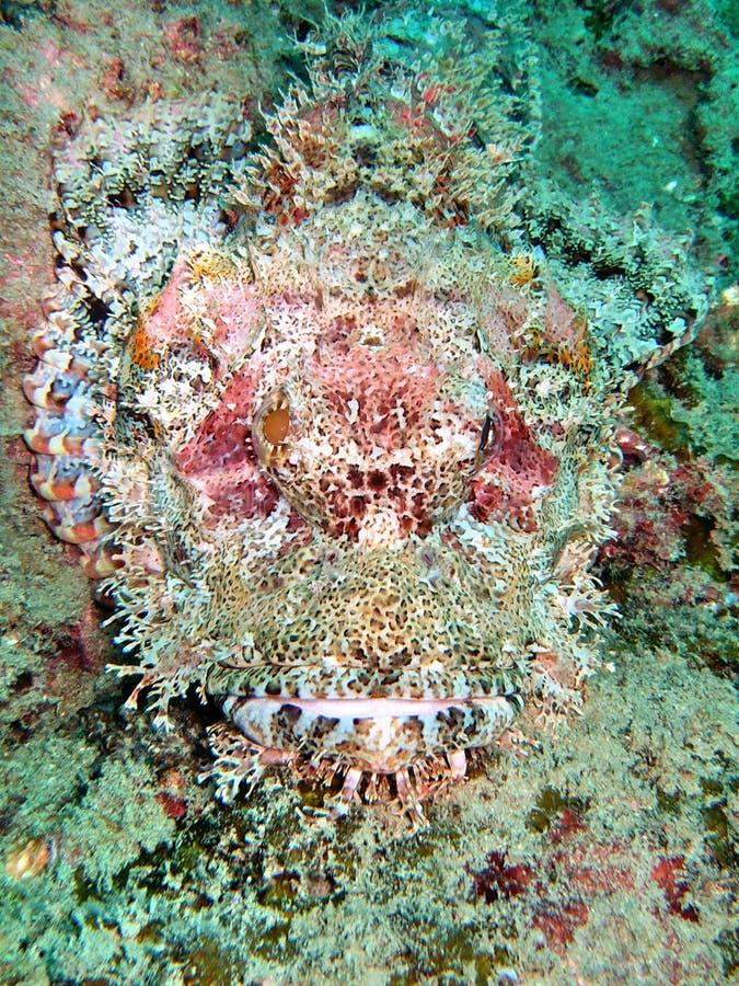 Peixes perigosos no recife coral imagens de stock royalty free