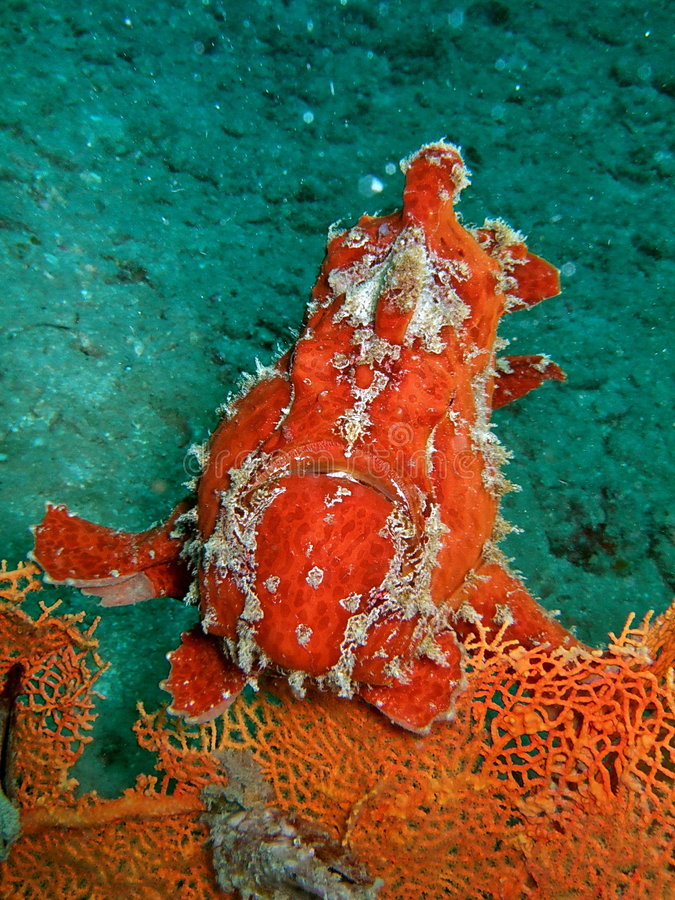 Peixes perigosos vermelhos no recife coral fotografia de stock