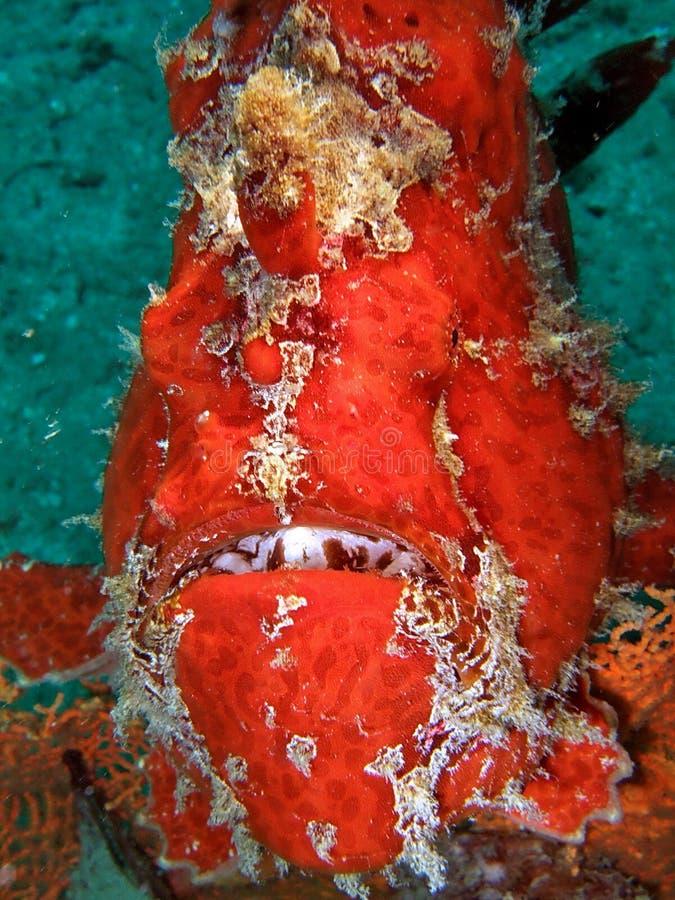Peixes perigosos vermelhos no recife coral foto de stock royalty free