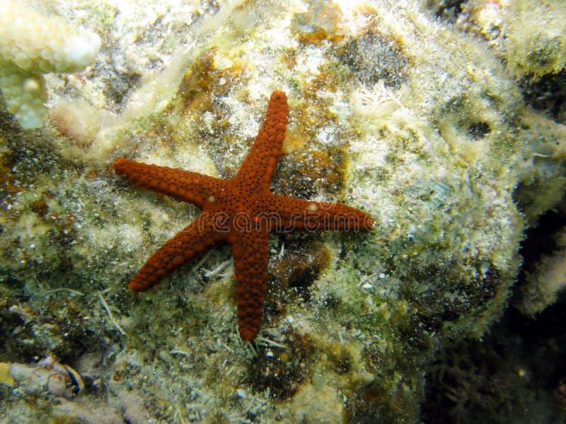 Peixes porosos ou de mármore vermelhos da estrela no recife coral fotos de stock royalty free