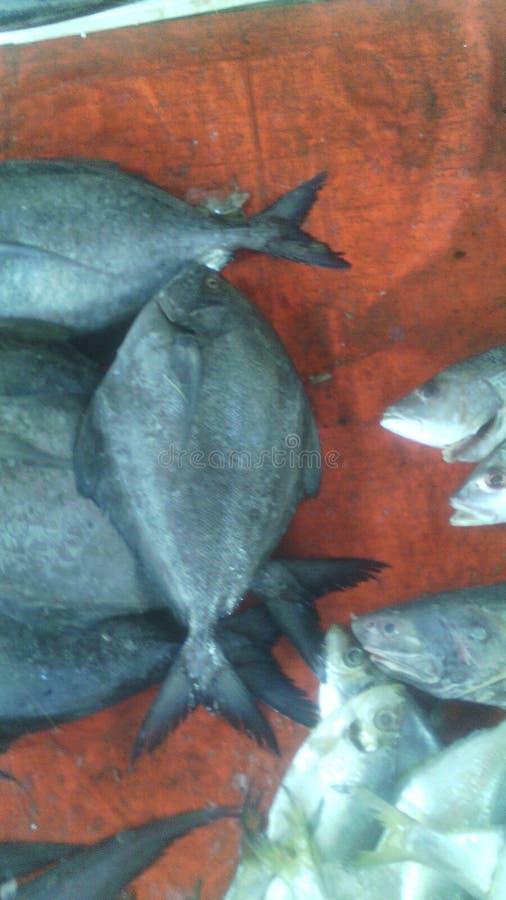 Peixes pretos do plomplet imagem de stock royalty free
