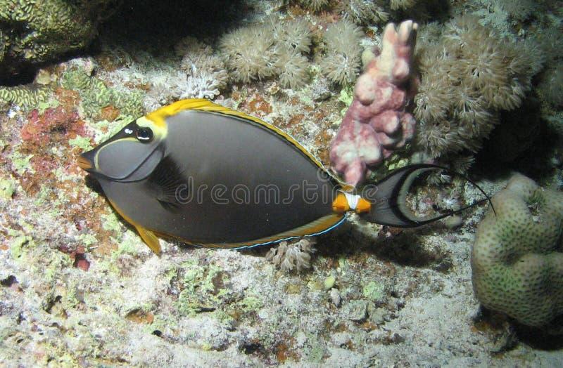 Peixes pretos e amarelos foto de stock