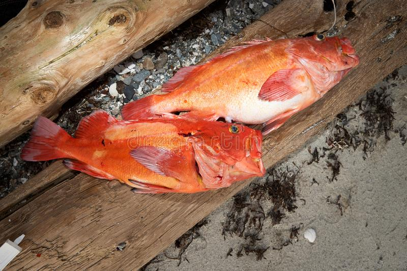 Peixes recentemente travados que encontram-se na madeira imagens de stock royalty free