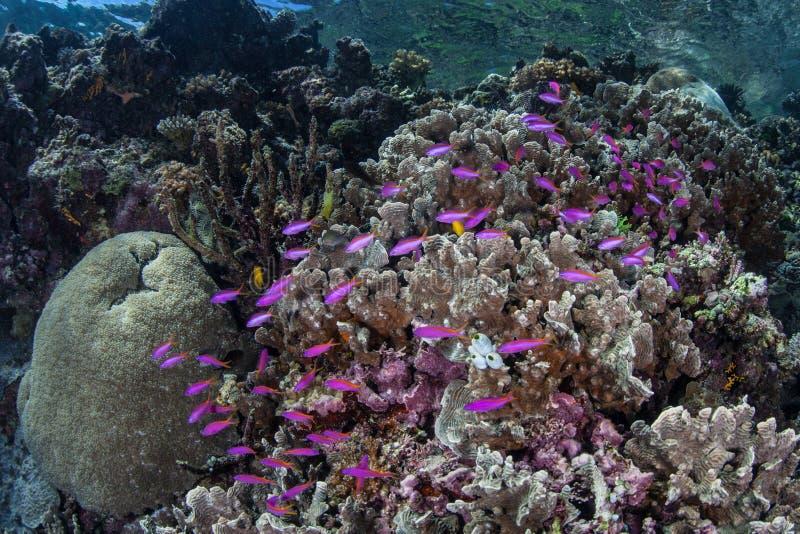 Peixes roxos no recife tropical raso imagem de stock royalty free