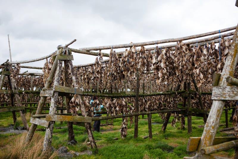 Peixes secados em uma aldeia piscatória de Islândia fotografia de stock royalty free