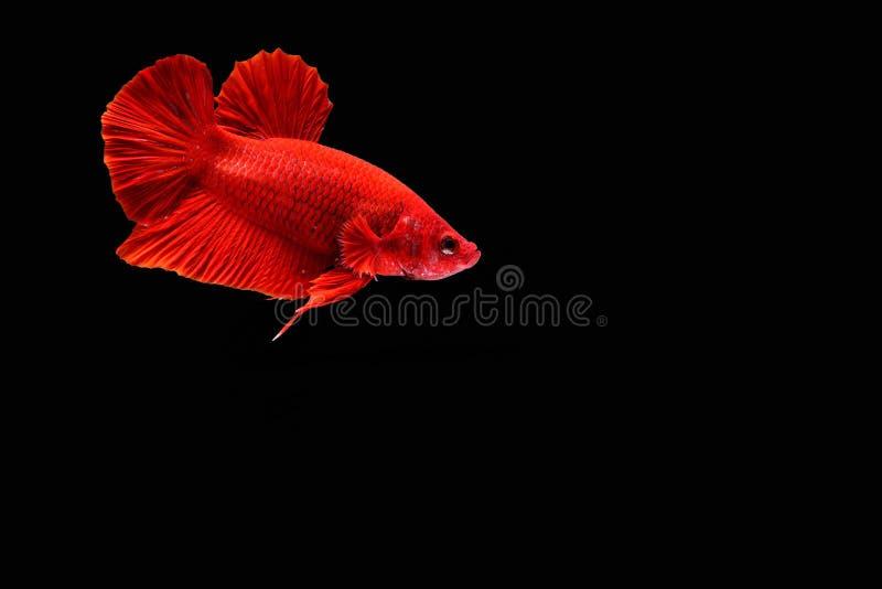 Peixes Siamese da luta foto de stock