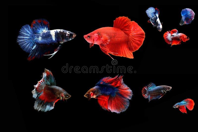 Peixes Siamese da luta imagem de stock royalty free