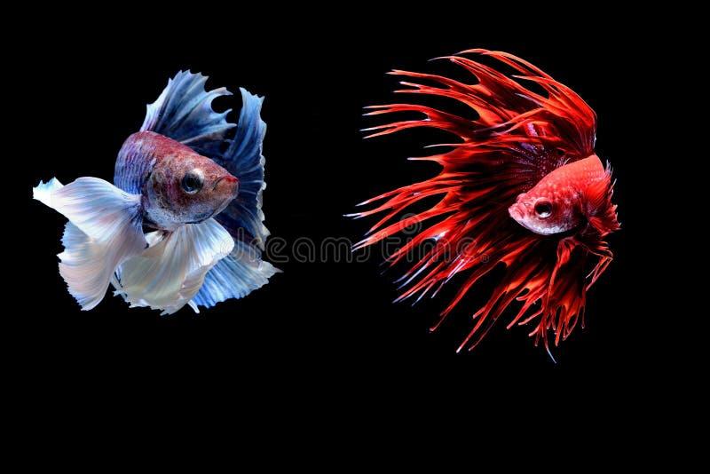 Peixes Siamese da luta imagens de stock royalty free