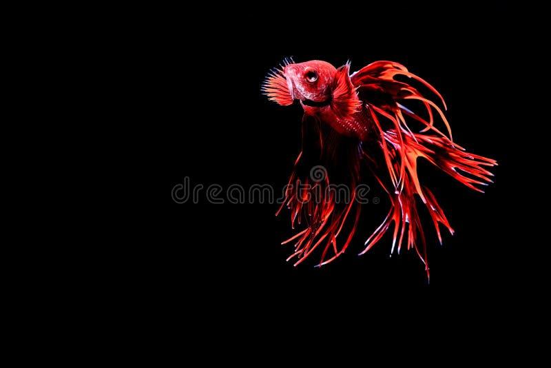 Peixes Siamese da luta imagens de stock