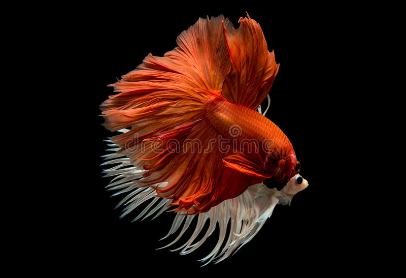 Peixes Siamese da luta fotografia de stock royalty free