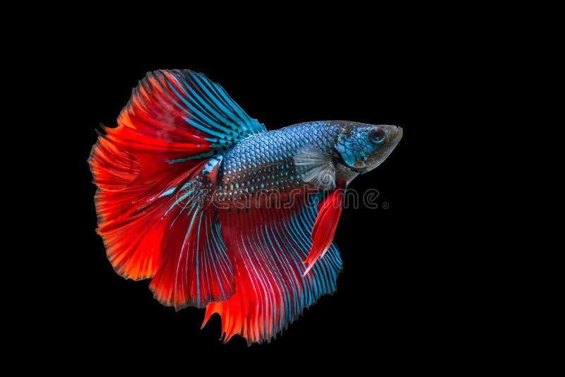 Peixes Siamese da luta isolados no fundo preto imagem de stock