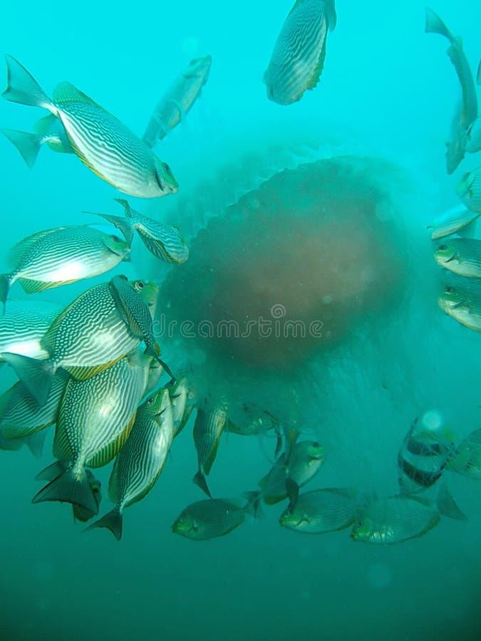 Peixes subaquáticos fotografia de stock royalty free