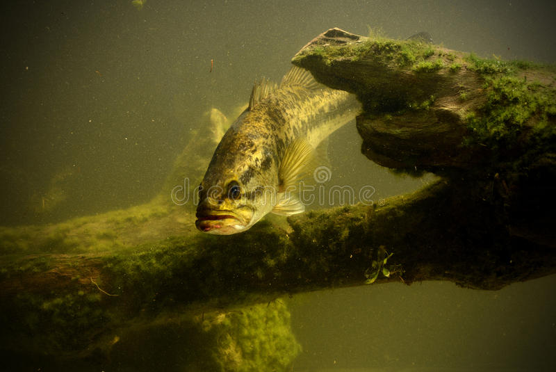 Peixes subaquáticos do baixo largemouth fotografia de stock