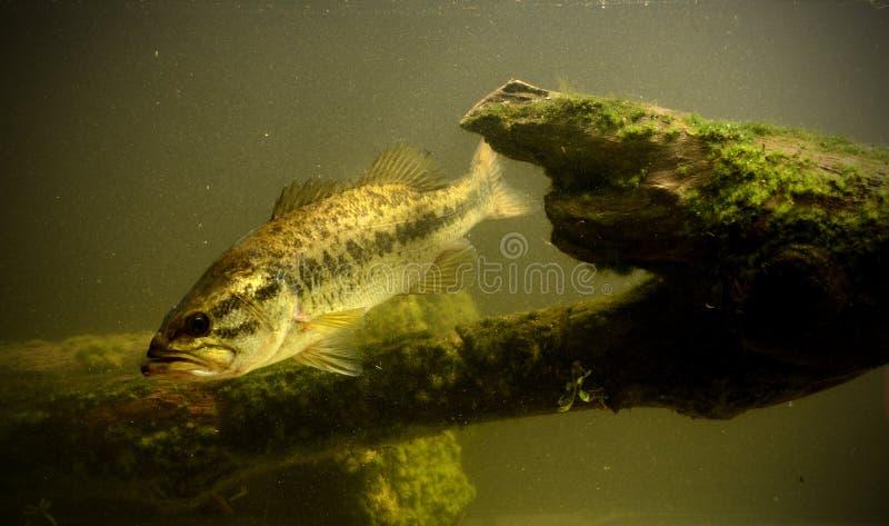 Peixes subaquáticos do baixo largemouth imagens de stock royalty free