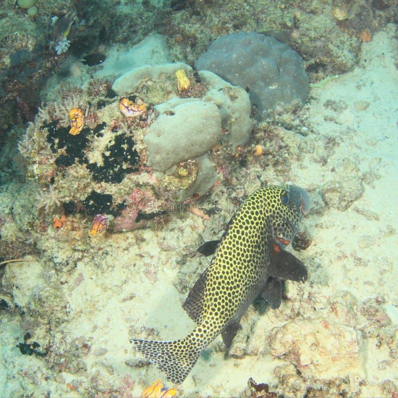 Download Peixes - Sweetlips Muito-manchado Imagem de Stock - Imagem de animal, undersea: 65576927
