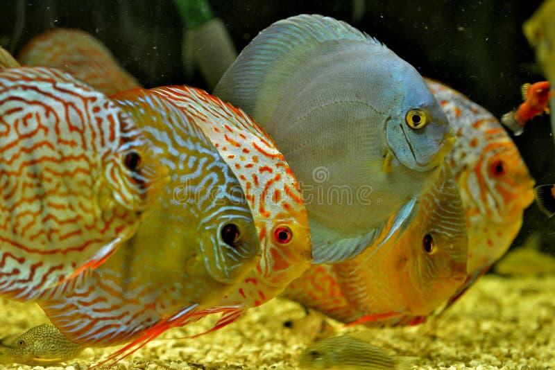 Peixes Symphysodon Aequifasciatus do disco no aquário imagem de stock