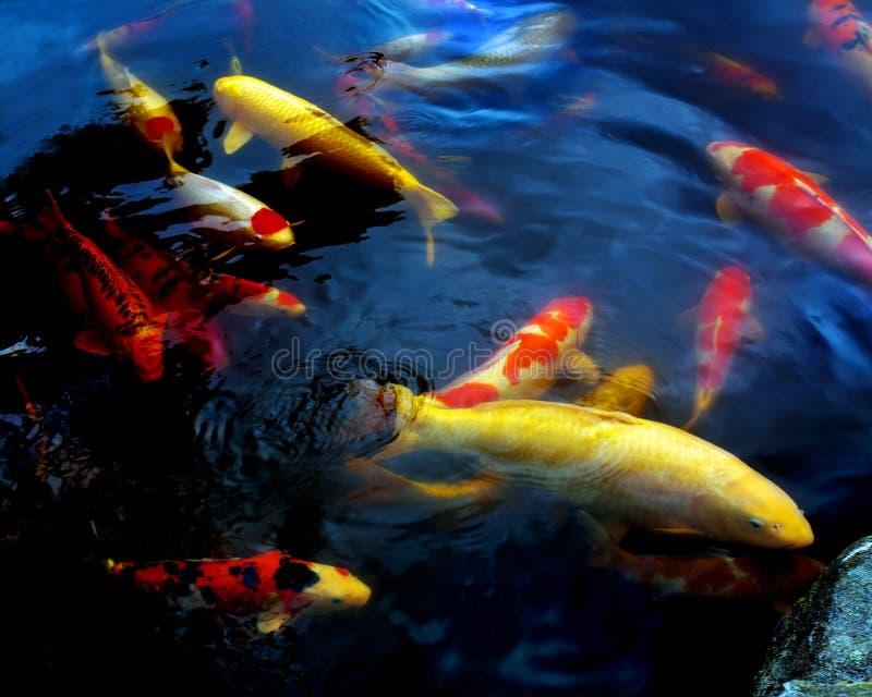 Peixes tímidos coloridos fotos de stock royalty free