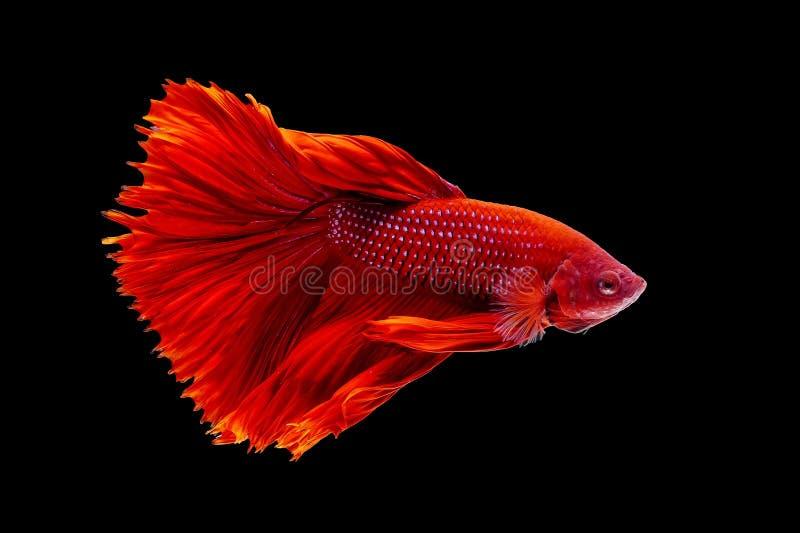 Peixes tailandeses coloridos do betta, betta vermelho, peixe rachado em um fundo preto fotos de stock